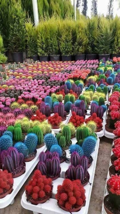 A nova obsessão são esses cactos de mil cores que ficam bem em qualquer parte da sua casa! #cactos #cactoscoloridos #jardim #plantas #jardinagem #cores #deecoração #diy