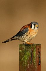 The American Kestrel (Falco sparverius), sometimes colloquially known as the Sparrow Hawk, is a small falcon, and the only kestrel found in the Americas. It is the most common falcon in North America, and is found in a wide variety of habitats. At 19–21 cm (7–8 in) long, it is also the smallest falcon in North America.  Sources and Credits (c) Blake Matheson, some rights reserved (CC BY-NC), http://www.flickr.com/photos/34328261@N02/3213612671