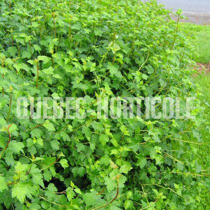 image de Ribes alpinum