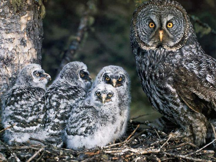 Great Gray Owl Mamma and Babies