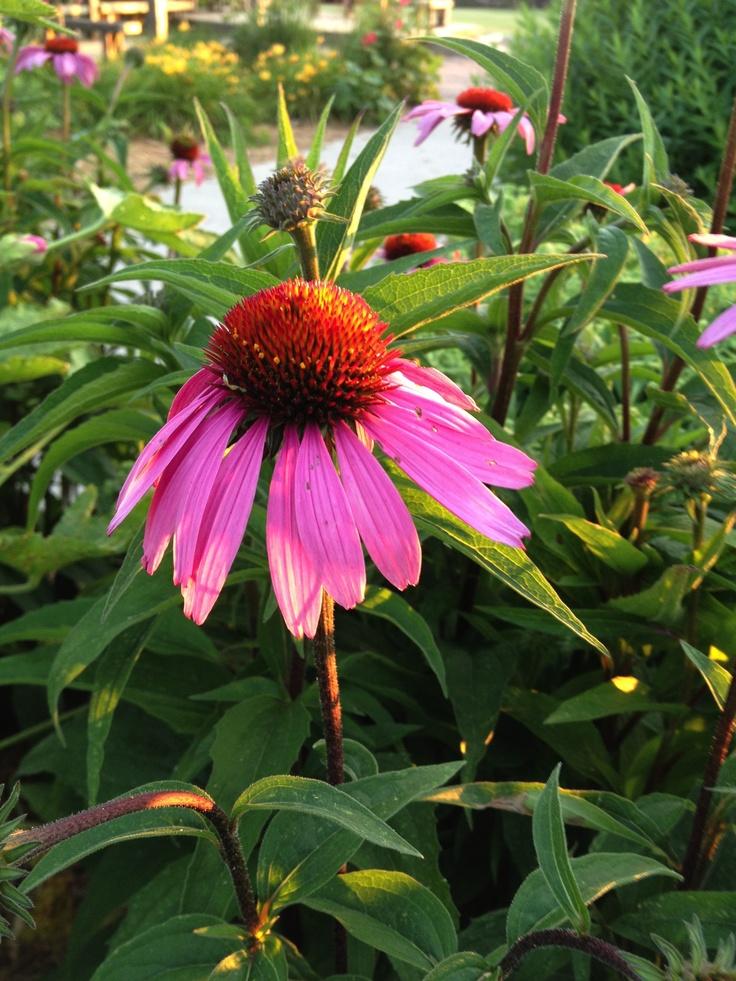 Iowa Summer! #Iowa: Beautiful Flower, Purple Coneflower, 4 Years, Coneflower My, Coneflowers Grow, Bloom, Backyard, Echinacea Coneflower, Coneflower Butterfly
