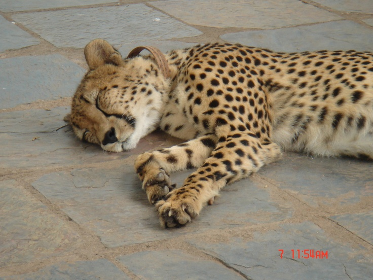 Cheetah relaxing after a busy day.