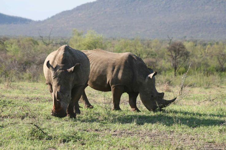 Rhino - Madikwe Reserve