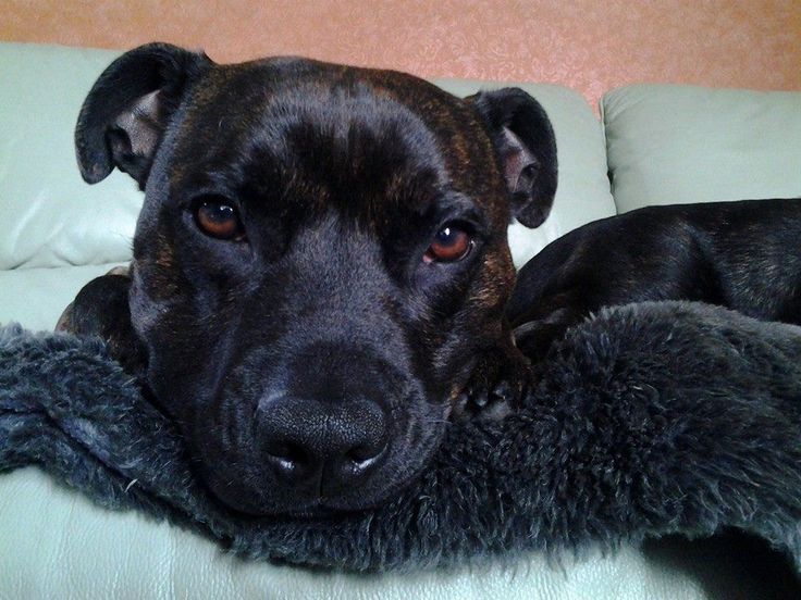 Dark brindle Staffie