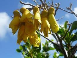 New Zealand native plant - Kowhai