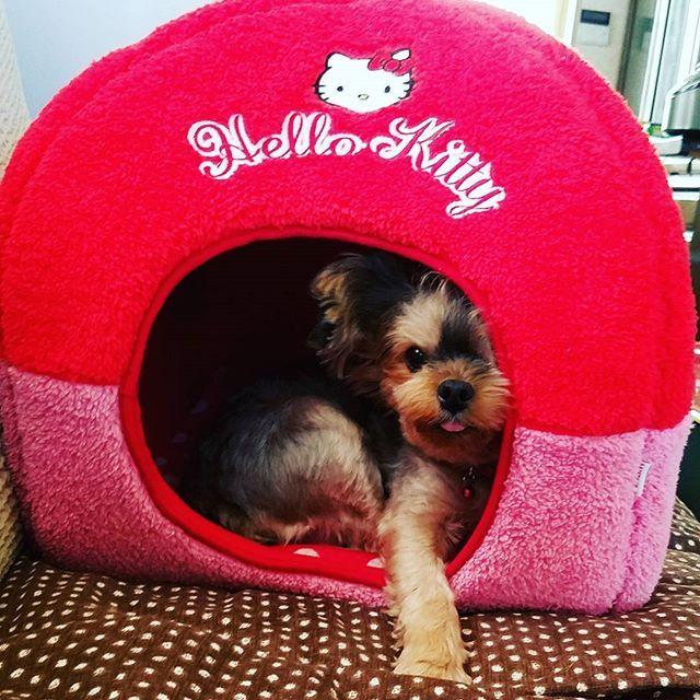 (/ω・\)チラッ  #メイ #愛犬 #ヨークシャーテリア #犬 #ヨーキー #ロングに憧れる天パ  #いぬすたぐらむ #わんこ #dog #pet #ペット #yorkie #Yorkshireterrier  #instayorkie #yorkiegram #動物看護師 #VT #VN #AHT #動物病院 #🐩 #今日のワンコ #犬派 #ワンコ #ブサカワ
