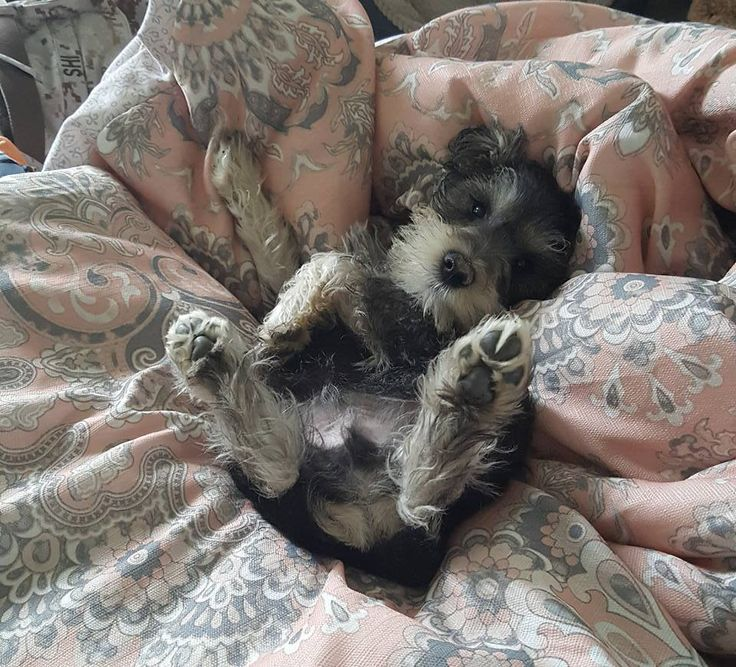 17 Best images about I LOVE SCHNAUZERS! on Pinterest ...