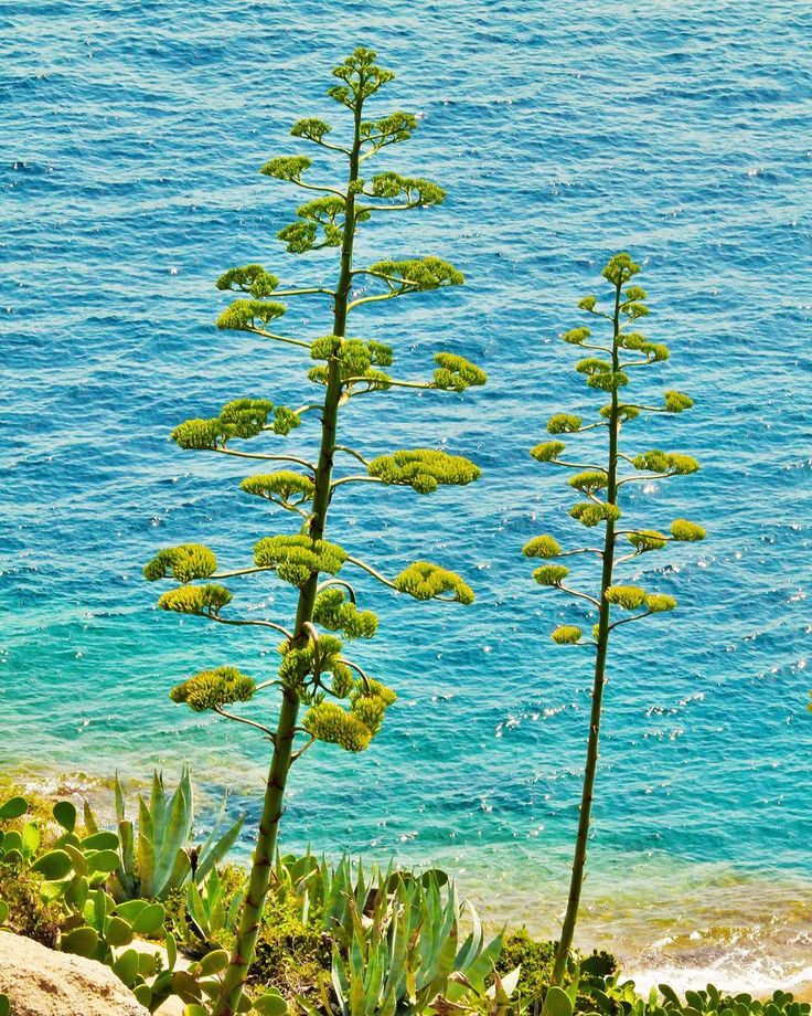 Les agaves sur la côte Corse... Facebook : Nature & Biodiversité #sea #mer #eau #water #naturephotography #natural #nature #wild #wildlifephotography #wildlife #conservation #protection #flore #flores #agave #borddemer #corse #corsica #landscape #land #wondeful #paysage by master031