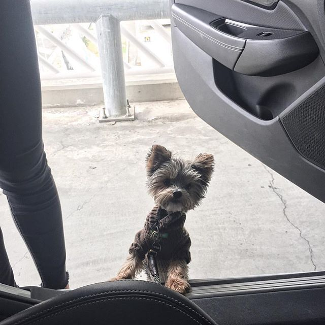 Awww isn't @balitheyorkie adorable? This precious pup recently travelled with us to Australia, all the way from LA!
