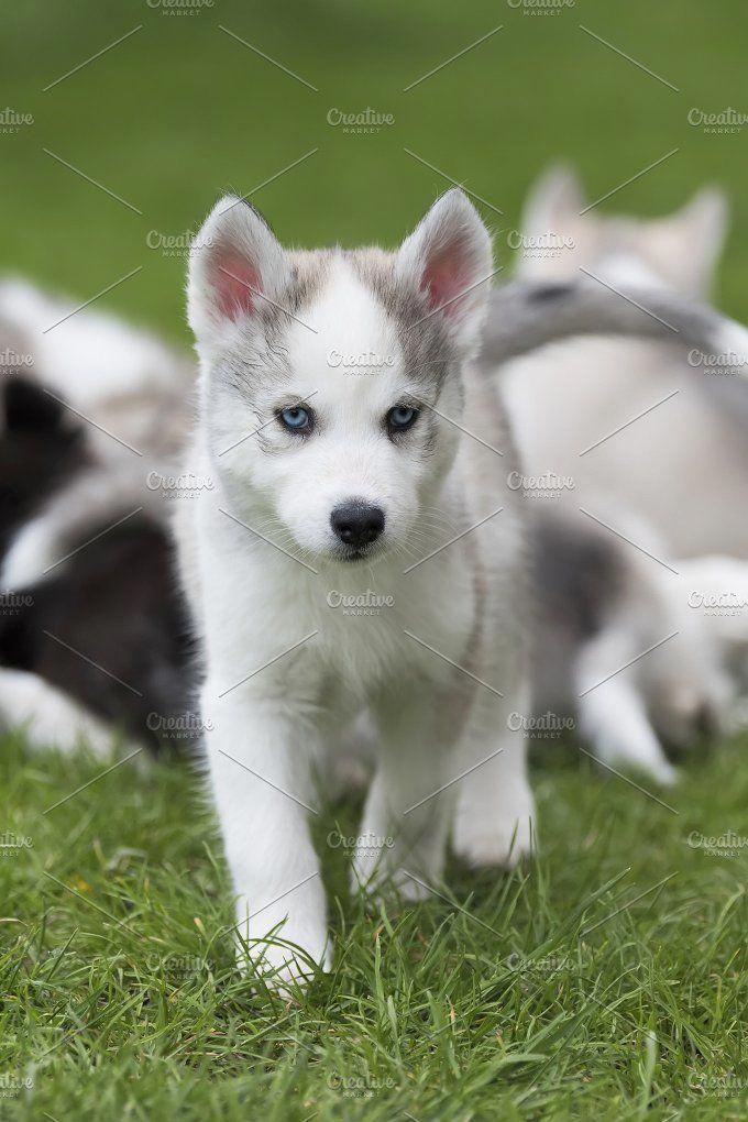 Siberian husky dog Photos Cute little siberian husky puppy