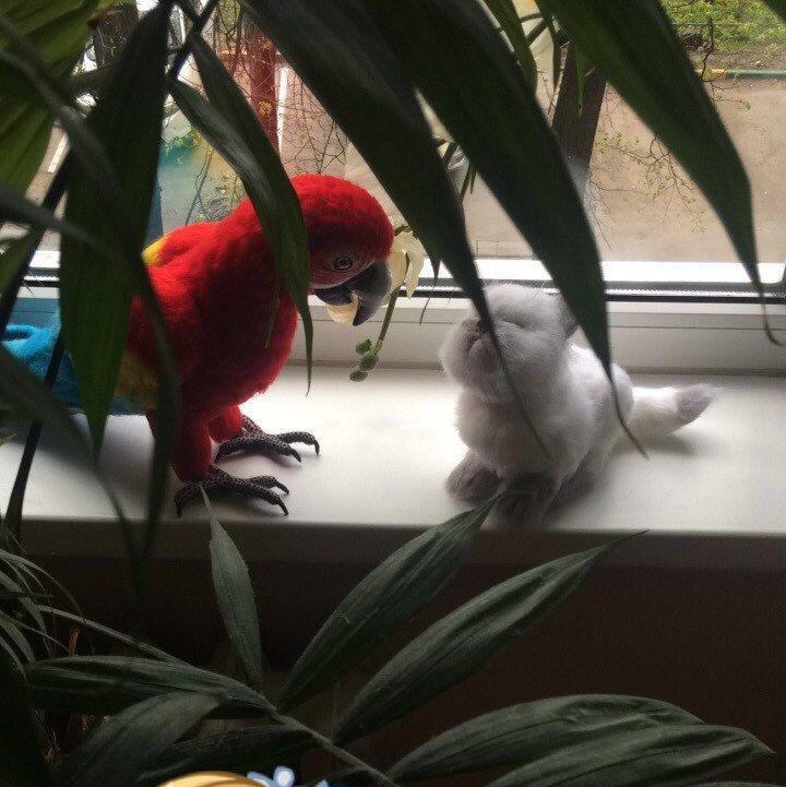 """Persian kitten Persik"" available now!"