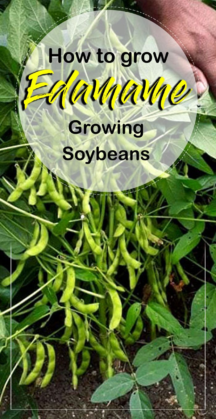 Growing Soybean Organic Vegetable Garden Organic Vegetables