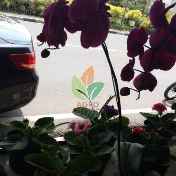 Anggrek Bulan Warna Ungu Siap Dikirim Mau Koleksi Juga Silahkan Bisa Wa 6285730130718 Untuk Cara Pembelian Bibit Agrobibi Anggrek Penjual Bunga Tanaman