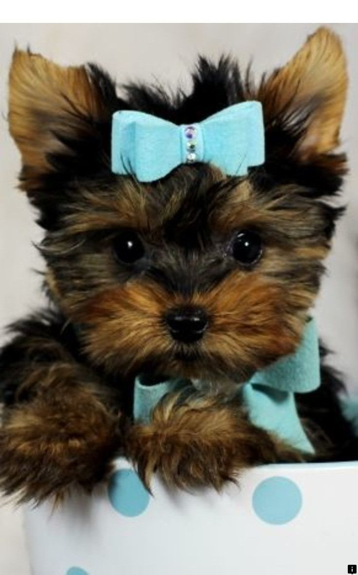 Discover more about teddy bear puppies click the link