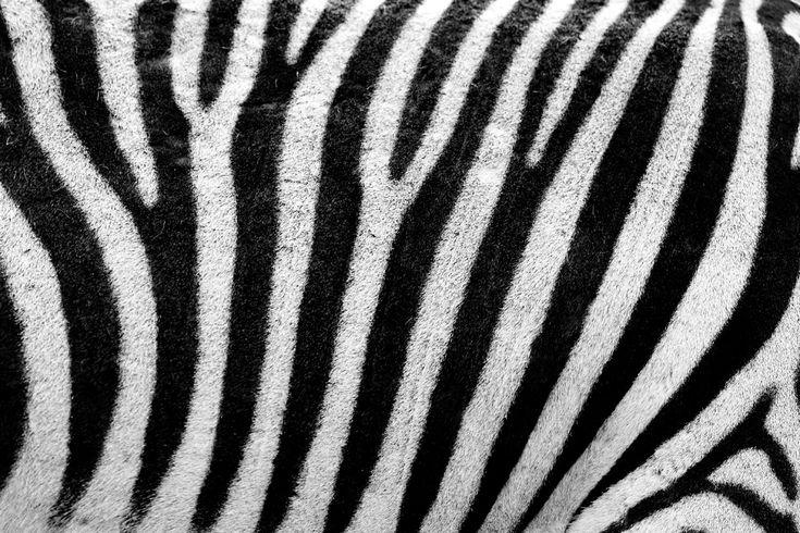 Google Afbeeldingen resultaat voor https://publicdomainpictures.net/pictures/20000/velka/zebra-texture-11297063007KgE.jpg