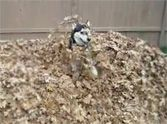 Fall is officially here... and that means it's time for pumpkin pie, sweaters and playing in a giant pile of leaves! Watch this husky have the time of his life, it'll just lift your heart. Life is a wonderful gift!