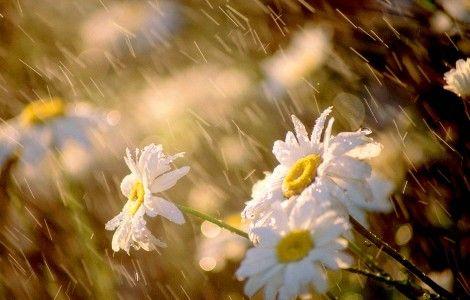 Wet Daisies Flower Wallpaper