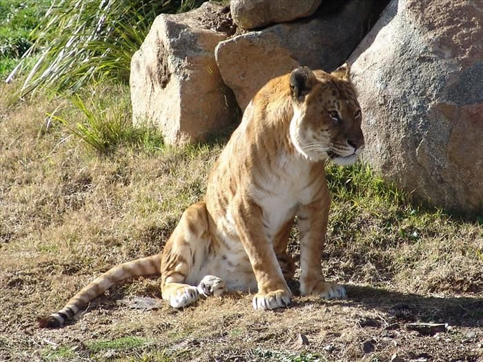 Tigons (or tiglons) are the opposite of ligers, they are cats whose father was a tiger and whose mother was a lion. They are more rare than ligers are, often carry marks from both parents, and unlike the ligers, are usually no bigger than their parents. They usually weigh about 400 lb