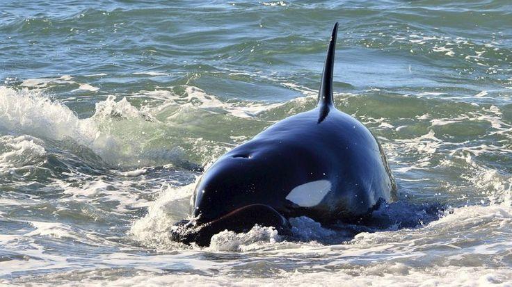 Orcas en acción: comenzó la caza en Península Valdés - Infobae
