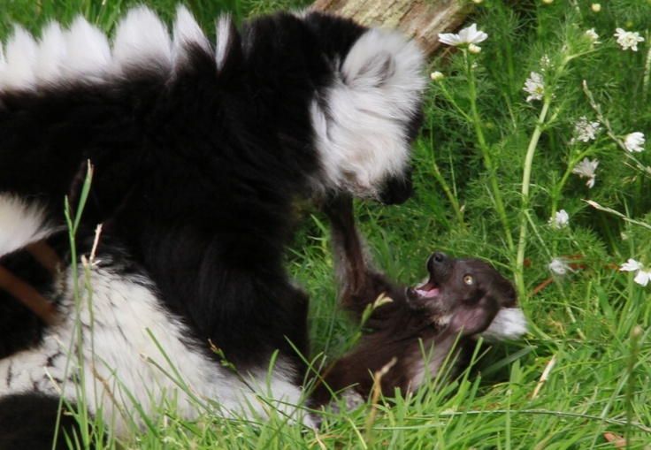 A Black and White Ruffed Lemur and her baby at Fota Wildlife Park
