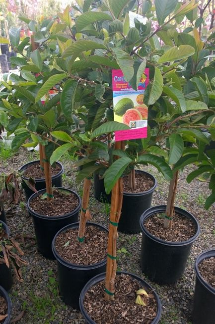 The Tropic Pink guava is a small shrub or tree producing pink fleshed fruit 3 to 6 ounces, fruit that is sweet with a true guava flavor.  No need for two trees with the Tropic Pink, as it is self fertile, growing well in the full sun.  This guava tree is hardy to about 25�'s, so grow in large container where you can move the tree to a more protected spot if you live in an extreme winter area.  You will enjoy your fresh guavas September to Dec.