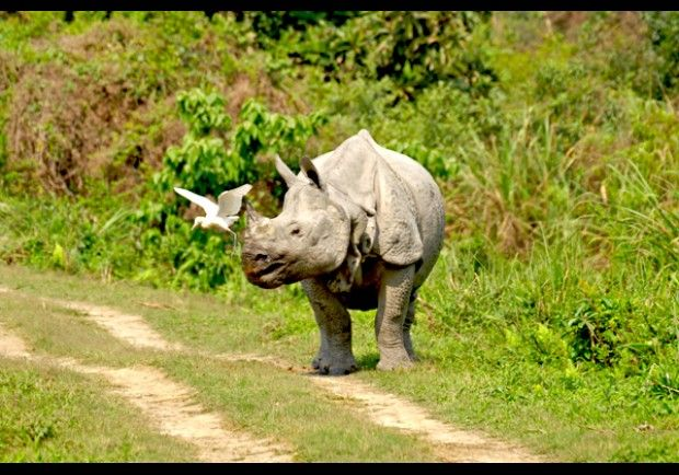 Asian one-horned rhinoceros in Kaziranga National Park in India.