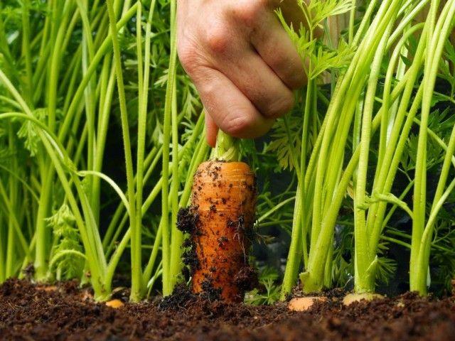 Морковь – востребованная и любимая овощная культура на каждом дачном участке. Богатая микроэлементами, каротином, витаминами, веществами, которые повышают иммунитет и способствуют излечению многих не…