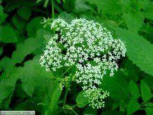 Herbář Wendys - Aegopodium podagraria - bršlice kozí noha