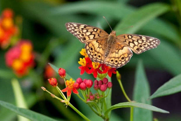 Warm winter leads to a population explosion in Canada's butterflies, like this variegated fritillary