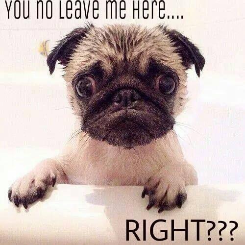 cutest #pug #dog #puppy pics