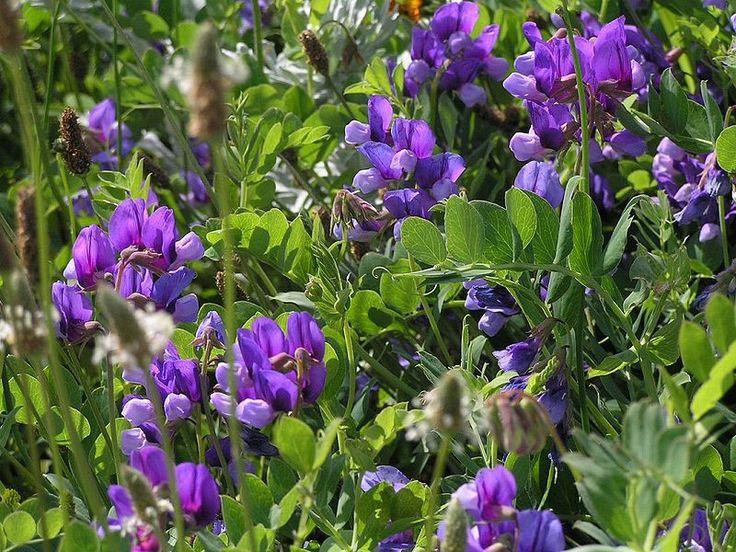 Hrachor - http://www.semena-osiva.sk/osivo-kvetin-osiva/120-hrachor-vonny-zmes-farieb-3g-semien.html