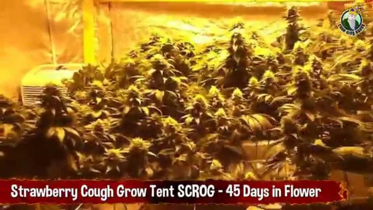 Strawberry Cough Marijuana Strain Grow Tent SCROG - 45 Days in Flower | Grow | Pinterest & Strawberry Cough Marijuana Strain Grow Tent SCROG - 45 Days in ...