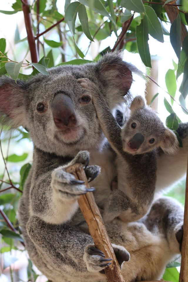 Amazing wildlife - Koala and baby photo #koalas