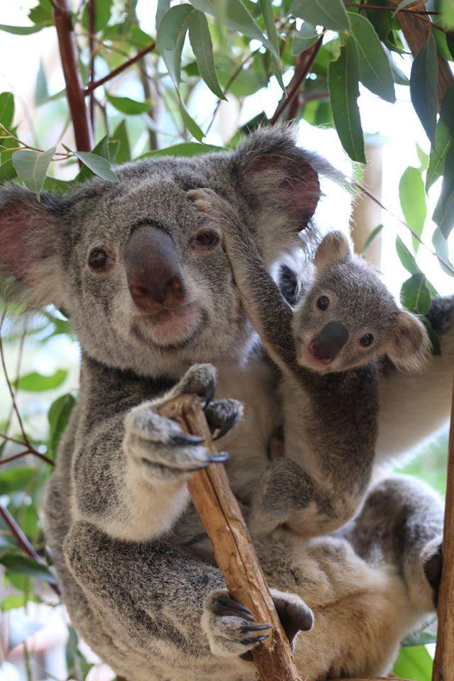 Amazing wildlife - Koala and baby photo #koalas