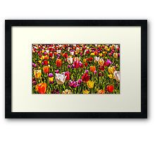 Colourful Tulips at the Conservatory Gardens Framed Print
