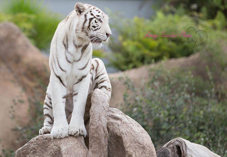 Weißer Tiger im Loro Parque