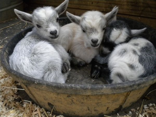 Nigerian Dwarf baby goats spotted on Craigslist - omg, so adorable!!!