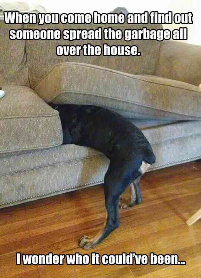 Newfoundland dog, Border Collie, Cat, Kitten, Puppy, Humour, Dog Shaming, Animal, Image, Rare breed (dog) Meme: When youl someone Sread the garbageall come homeand find out overthe house. Iwonderwho it could ve been