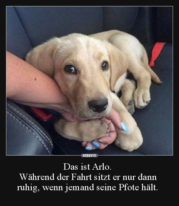 Das ist Arlo. Während der Fahrt sitzt er nur dann ruhig.. | Lustige Bilder, Spr…