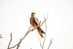 FAR-0007199 © WestPix A kite perched atop a tree in Darwin keeping an eye out for prey. Picture: Farhad Mobarra
