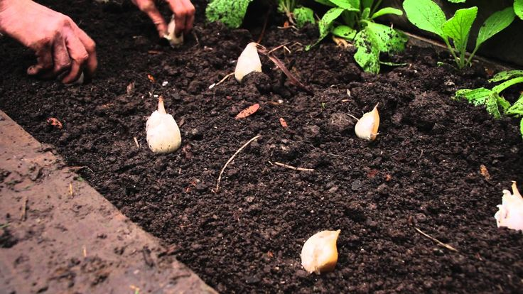 Planting garlic is also considered as one of the good insect repellents in your garden. Description from vkool.com. I searched for this on bing.com/images