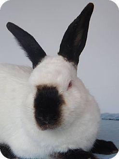 Hahira, GA - Himalayan Mix. Meet Jedi, a pet for adoption. http://www.adoptapet.com/pet/17423350-hahira-georgia-rabbit