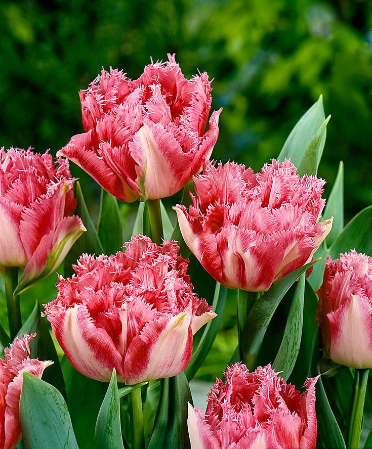 Fringed Tulips 'Cool Crystal'