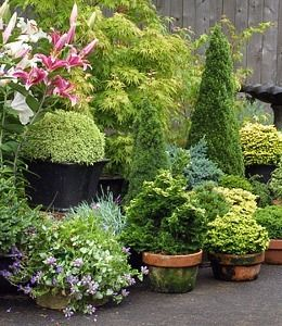 container garden conifers on patio