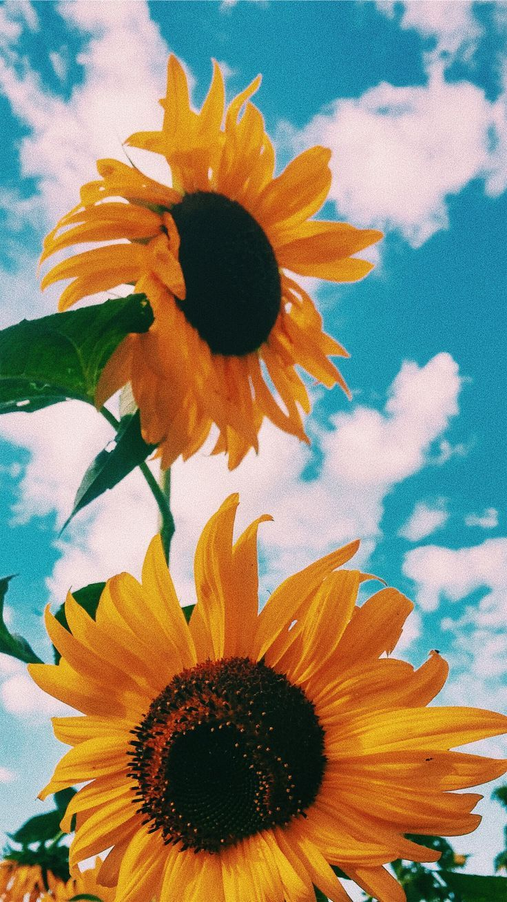 White Off The Shoulder Top Cute Wallpaper Backgrounds Sunflower