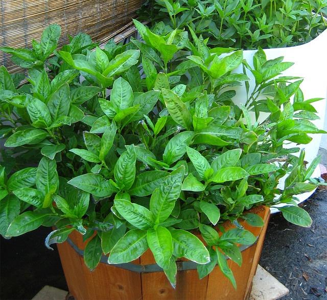 Indigo Plant Dye Related Keywords & Suggestions - Indigo ...