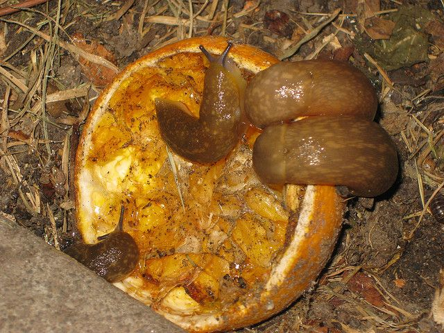 Get rid of slugs and snails with orange or grapfruit peel halves.  They are drawn to the oranges then just go collect them.