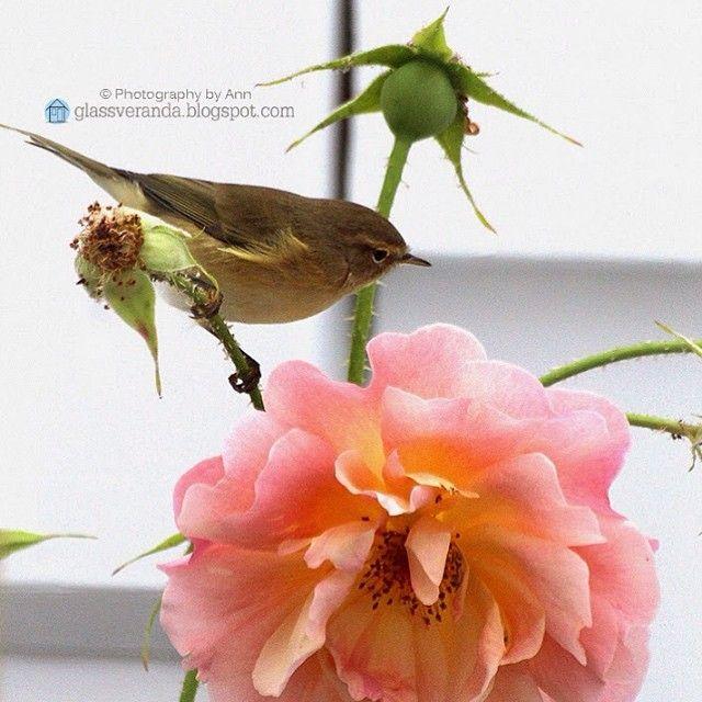 #glassveranda #hage #garden #bird #rose #fugl #sommerøyeblikk Solen skinner i dag, det renner og drypper ute og fuglene kvitrer som gale i trærne = vår! ☀️ Dette bildet knipset jeg ute på terrassen en tidligere sommer, det du ser er en av hagehjelperne mine, dealen jeg har med dem er at jeg mater dem om vinteren, og til gjengjeld holder de rosene mine fri for bladlus om sommeren!  Håper dagen din blir fin!