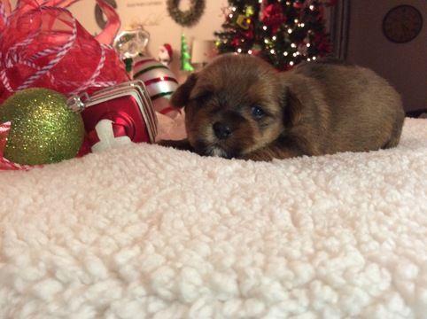 Shorkie Tzu puppy for sale in CLAY CITY, KY. ADN-52509 on PuppyFinder.com Gender: Male. Age: 3 Weeks Old