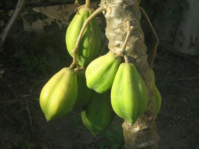 Papayas de el valle del elqui